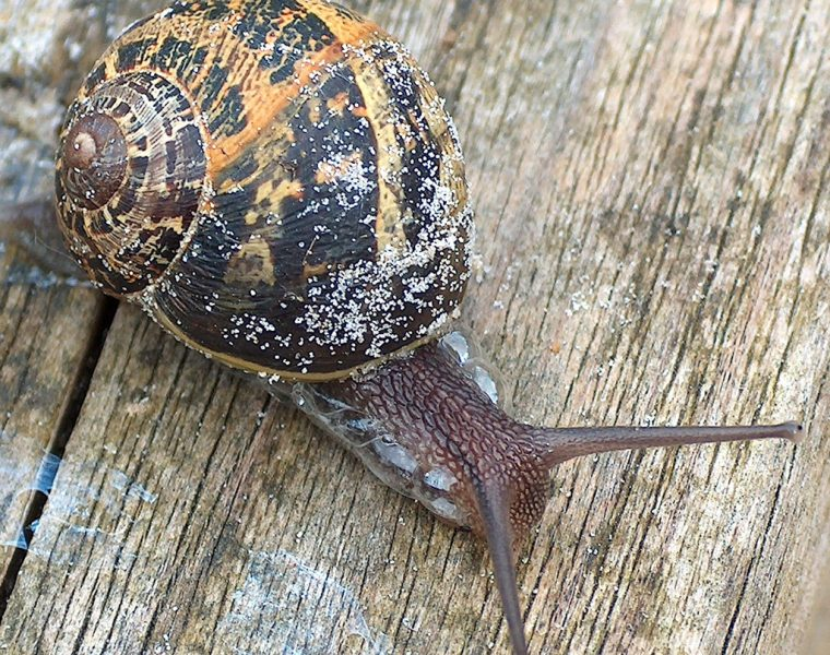 Slugs and Snails carry the Lungworm Parasite
