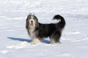 Bearded Collie in the Snow