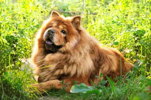 Chow Chow in the Grass