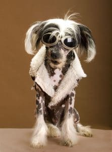 Chinese Crested Portrait