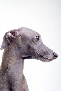 Italian Greyhound Portrait