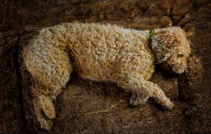 Spanish Waterdog Portrait