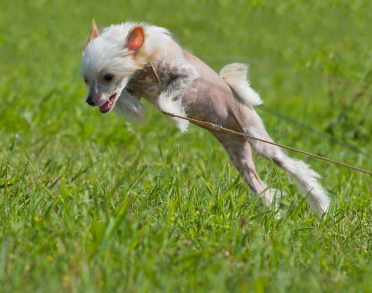 Puppy Jumping in Garden