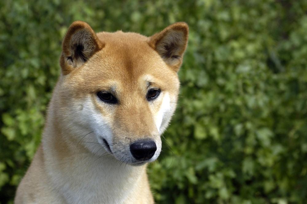 The Origin of the Domestic Dog